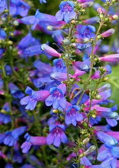 """Truly luminous, almost turquoise blooms, 6-12"""" tall, will make this one of your favorite California natives. Not a shy bloomer, you'll get lots of those beautiful blooms much loved by hummers & butterflies. Dense & compact, it grows to a maximum 14"""" x 14"""" with bluish-green evergreen."""