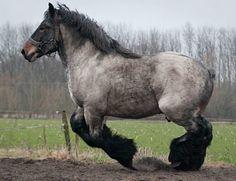 Brabant Trekpaard, or Belgian Heavy Horse stallion, Gamin van de Lindehoef. Beloved in Belgium, the breed has probably been the most influential draft horse in developing other familiar draft breeds. photo: Ton van der Weede.