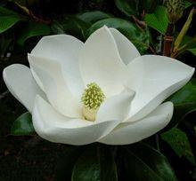 Dwarf evergreen magnolia, the blooms smell like lemon chiffon pie.