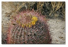barrel cactus with flowers