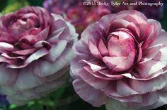Ranunculus Flower Fine Art Photo Print by BeckyTylerArt on Etsy
