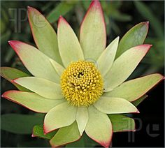 Photograph of The flower Leucadenron Harvest. The flower has a complex yellow centre