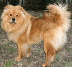 chow chow puppies lion