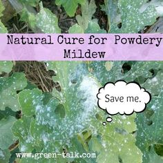 Natural Cure for Powdery Mildew:  Garlic Spray to Keep it at Bay.