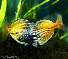 Boesemani Rainbowfish, Featured item. #boesemani #rainbow #fish #petfish #aquarium #aquariums #freshwater #freshwaterfish #featureditem