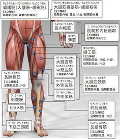 筋トレ大学:各部筋肉の名称(下半身:前側) Yoga Anatomy, Human Anatomy, Human Body Structure, Yoga Fitness, Health Fitness, Human Leg, Medical Anatomy, Muscle Anatomy, Muscle Pain