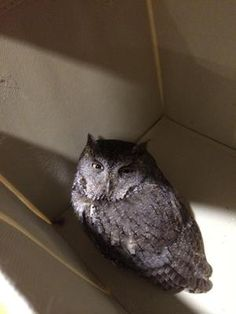 This little Owl flew into our sliding door in our kitchen last night.    We put him in a box and let him warm up and regain consciousness.    After a few