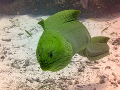 Green Morray Eel