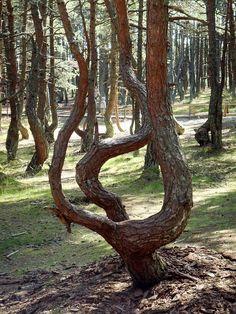 Куршская коса. Маршрут «Танцующий лес» (37-й км)