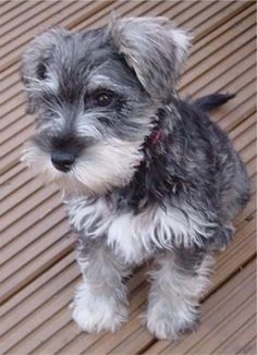 Little schnauzer- someday I will conquer the world with my adorableness!!