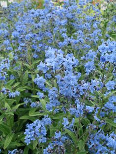 Cynoglossum amabile 'Blue Showers' (Chinese forget-me-not) | From @Annie Compean Compean Compean's Annuals