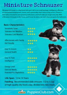 Everything About Playfull Miniature Schnauzer Pup Exercise Needs Schnauzer Mix, Schnauzer Grooming, Standard Schnauzer, Dog Grooming, Cute Puppies, Cute Dogs, Dogs And Puppies, Doggies, Animales
