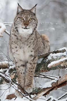 European Lynx in Norway - É noite de inverno; o lince caminha entre troncos e moitas , alerta , alerta à procura de caça . Uma lebre passa de uma moita para outra, quase imperceptível , mas para o lince bastaram dois ou três saltos da presa para que ele a percebesse. É um ótimo caçador com visão previlegiada .