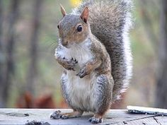 Eastern Grey Squirrel, Sitting, Eating