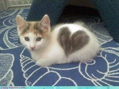 Calico kitten with a heart