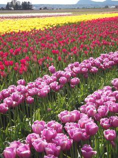 Skagit Valley - Tulip Town during the Tulip Festival. (Mt. Vernon WA)