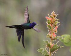 Série com o Beija-flor Tesoura (Eupetomena Macroura) - Series with the Swallow-tailed Hummingbird - 25-01-2009 - IMG_0407 | por Flávio Cruvinel Brandão