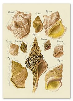 A set of two original reproduction antique prints of shells, dated from the Trowbridge archive. One Kings Lane