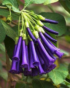 Purple Violet Tubeflower (via Sociedad Agentina de Horticultura)