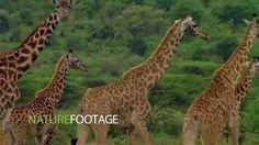 NatureFootage Mammals Demo Reel