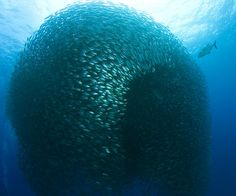"""Akule by Bo Pardeau: After nearly being captured by local fishermen in a failed attempt, nearly 30 tons of Akule, (big eye scad) are still free to roam. (""""Which is the individual – the fish or the school?"""") #Marine_Biology #Akule"""