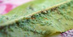 Câte tratamente pot fi necesare pentru păduchele verde al piersicului Paradis, Guacamole, Ethnic Recipes, Gardening, Food, Agriculture, Insects, Plant, Lawn And Garden