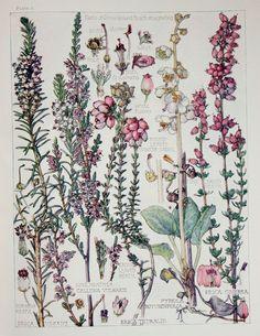 1910 Botanical Print by H. Isabel Adams Heath by PaperPopinjay, $15.00