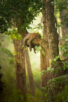 A leopard resting its head on a tree branch, photographed by Sudhir Shivaram.