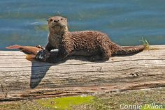 Otter Dining Out 8 x 10 Color Photograph  by ConnieDillon10, $23.00