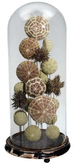 Sea shell Urchins in Victorian cloche