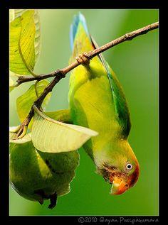 Sri Lanka Hanging Parrot(Endemic), Mattaka, Sri Lanka