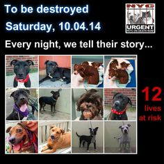 TO BE DESTROYED: 12 Dogs to be euthanized by NYC ACC- SAT. 10/04/14. This is a HIGH KILL shelter group. YOU may be the only hope for these pups! ****PLEASE SHARE EVERYWHERE!!!To rescue a Death Row Dog, Please read this:  http://urgentpetsondeathrow.org/must-read/    To view the full album, please click here:    https://www.facebook.com/media/set/?set=a.611290788883804.1073741851.152876678058553&type=3