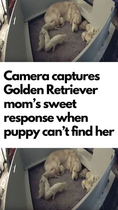 Golden Retriever Mom Gives Sweet Response When Puppy Can't Find Her Animals And Pets, Baby Animals, Funny Animals, Cute Animals, Wild Animals, Thing 1, Gifts For Office, Human Emotions, Funny Animal Videos