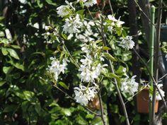 6月6日【アメリカザイフリボク】学名:Amelanchiercanadensis別名:ジューンベリー形態:落葉樹 樹高:小木分類:バラ科花色:白色。使われ方:果樹、庭木、街路樹などとして使われています。