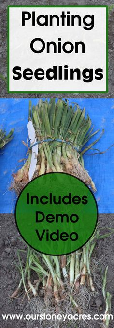 Planting onion Seedlings is the best way to grow onions in my opinion! This quick and simple method for planting onions produces the strongest corps and the healthiest bulbs!