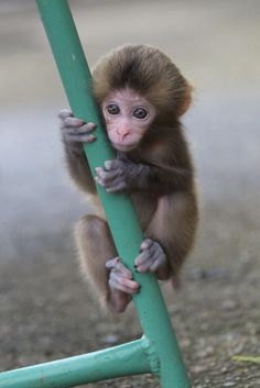 Look at those tiny hands! I want one of those hands to grip one of my fingers and the monkey snuggle with me!!!