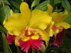Mais de 1500 espécies de orquídeas estarão expostas na 93ª Exposição de Orquídeas.