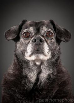 """""""Say hi to Weezee! Although this 10yr old Pug mix looks a little concerned about having her photo taken, she was very well behaved and one of the easiest to photograph!"""""""