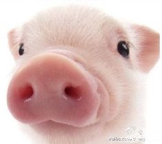 Look at this precious face! So freaking adorable 🐷 Look at this precious face! So freaking adorable 🐷 Cute Baby Animals, Animals And Pets, Funny Animals, Pet Pigs, Baby Pigs, Miniature Pigs, Cute Piglets, Small Pigs, Teacup Pigs