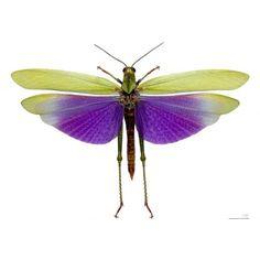 Titanacris albipes. mounted insects for sale. www.demuseumwinkel.com