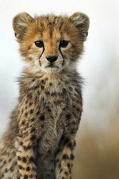 cute cheetah cub acinonyx jubatus photo by vladimír motyčka