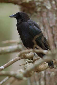 he crow is a spirit animal associated with life mysteries and magic.  The power of this bird as totem and spirit guide is provide insight and means of supporting intentions. Sign of luck, it is also associated with the archetype of the trickster; be aware of deceiving appearances.  If the crow has chosen you as your spirit or totem animal, it supports you in developing the power of sight, transformation, and connection with life's magic.