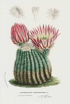 The botanical register illustration art botany plant flora flower Botanical Flowers, Blooming Flowers, Botanical Art, Botanical Illustration, Graphic Illustration, Cactus Decor, Cactus Art, Cactus Flower, Cactus Pictures