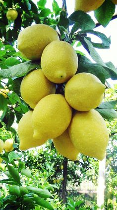 Lemons are pretty, but sour on the inside. Yet even so, God made them useful despite that. Fruit Plants, Fruit Garden, Fruit Trees, Vegetable Garden, Colorful Fruit, Tropical Fruits, Fresh Fruits And Vegetables, Fruit And Veg, Beautiful Fruits