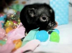 """[MICRO KUNE Piggie: """" Me don'ts care if de smiles come at meez expense. Me be a smalls price to pay. Cute Baby Animals, Animals And Pets, Funny Animals, Farm Animals, Pet Pigs, Baby Pigs, Teacup Animals, Teacup Piglets, Mini Pigs"""