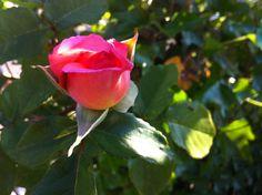 The rose in German-Park