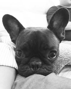 mode #whatsupdoc, Mister Baguette, the French Bulldog Puppy, (@misterbaguette) on instagram #buldog