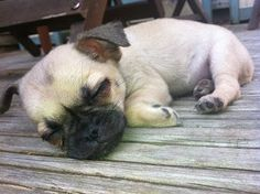 Lilly  my Chug puppy having a snooze