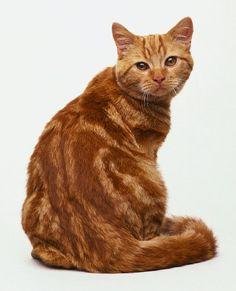 British Shorthair Red Tabby