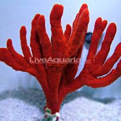 Sea Sponges: Ocean Sponges, Ball and Red Tree Sponges Saltwater Tank, Saltwater Aquarium, Aquarium Fish, Coral Reef Aquarium, Marine Aquarium, Sea Sponge, Home Aquarium, Salt Water Fish, Paludarium